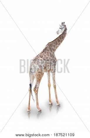 portrait of giraffe isolated on white background(clipping path)