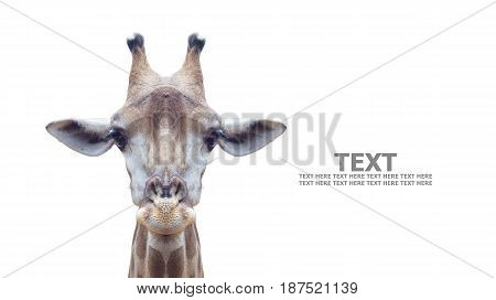 giraffe's face isolated isolated on white background