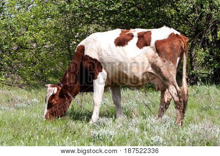 brown and white cow grazes on a meadow in the village.