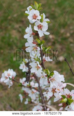 Flowering branch of Prunus (Cerasus) tomentosa in spring