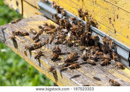 The bees at front hive entrance close-up, Selective focus.