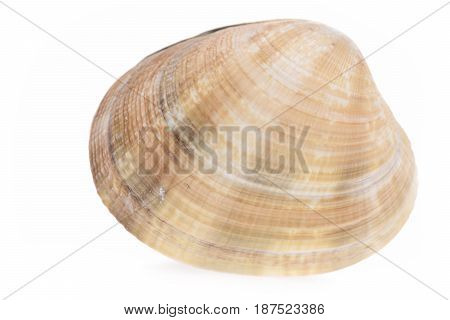 Conch Mollusk Isolated On White