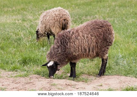 Two sheep graze on the green grass. Close-up.