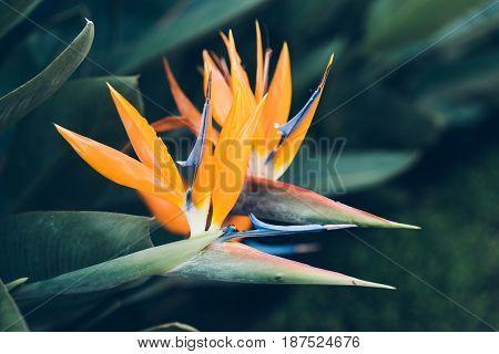 Bird of paradise flower on green background. Orange Strelitzia is a plant family Strelitziaceae poster