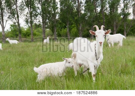 Goat with a kid is grazing on green grass.