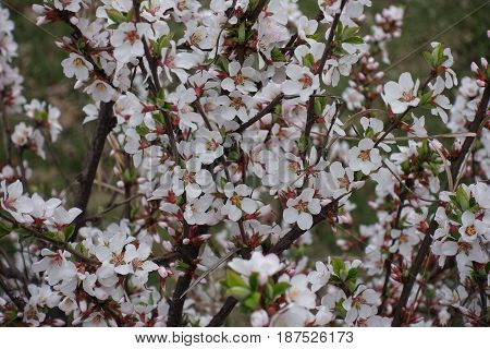 Lots of white flowers of Chinese dwarf cherry