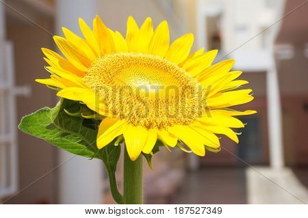 Soft focused picture of Yellow sunflower in the garden with blurred building background