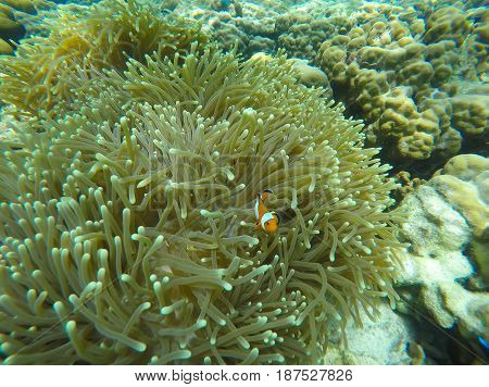 Soft focused photo of anemone fish and soft coral at Zedetkyi Island Andaman oceanMyanmarAsia