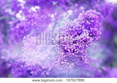 Fragrant Flowers Of Lilac