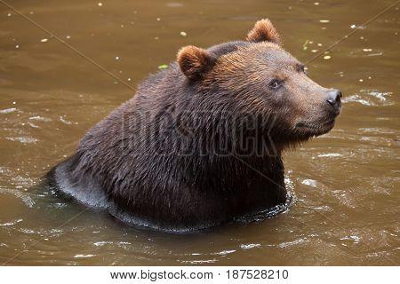 Kamchatka brown bear (Ursus arctos beringianus), also known as the Far Eastern brown bear.