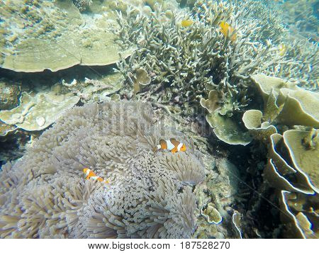 Soft focused photo of anemone fish and soft Reef at Zedetkyi Island Andaman oceanMyanmarAsia