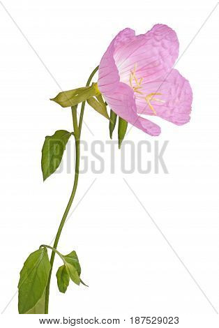 Side view of a single flower stem leaves and bud of the pink evening primrose (Oenothera speciosa) isolated against a white background