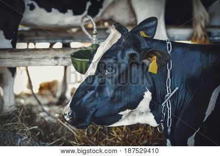 Cow in a barn.