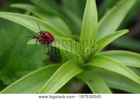 Two red beetles copulating on a green leaf