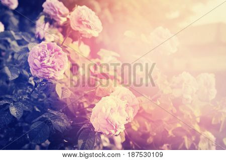 Rose Flowers In The Garden.