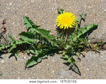 Blooming Common dandelion Taraxacum officinale close-up on road soft edges selective focus shallow DOF.