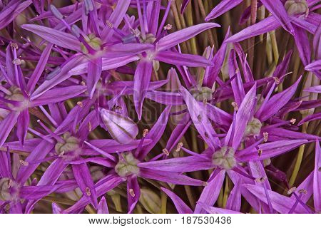 Many purple flowers of the ornamental onion (Allium giganteum) cultivar Globemaster fill the frame