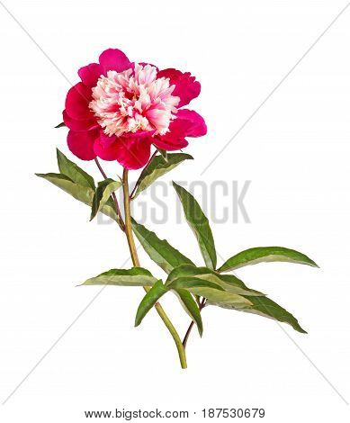One double anemone-form flower stem and leaves of a red and white peony (Paeonia lactiflora) cultivar isolated against a white background