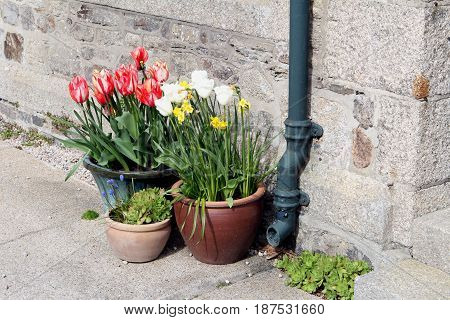 Colorful Tulips Growing In Ceramic And Earthenware Pots Next To The Rainwater Downpipe On A Traditio