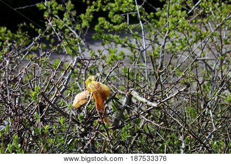Discarded Banana Skin Hanging In A Hedgerow In The English Countryside