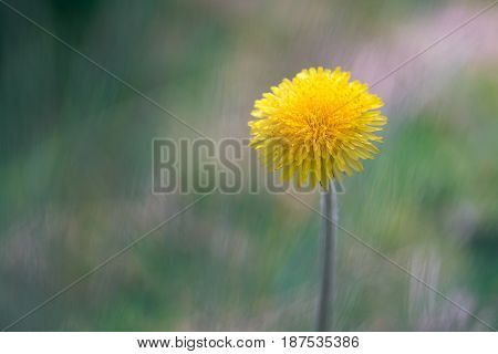 A bright yellow dandelion on a beautiful background