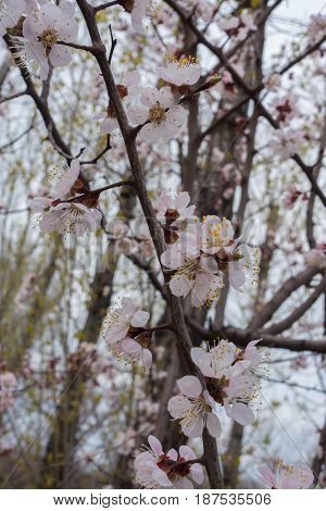 A Branch Of Apricot Tree With Pinkish Flowers