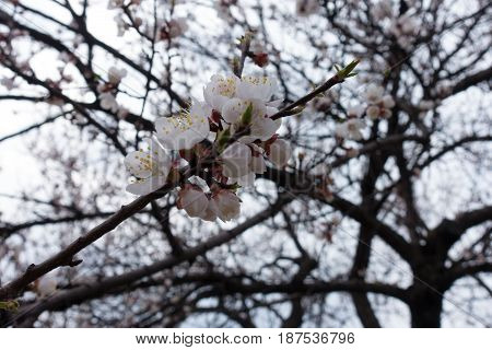 Bunch Of White Flowers On The Branch Of Apricot Tree