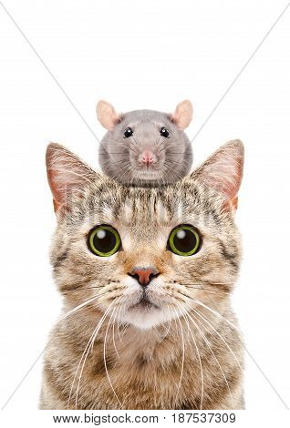 Portrait of a cat Scottish Straight with a rat on the head, isolated on a white background