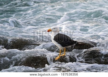 White Pacific Gull with yellow bill and red tip standing on rock with splashing sea foam in evening, Tasmania, Australia