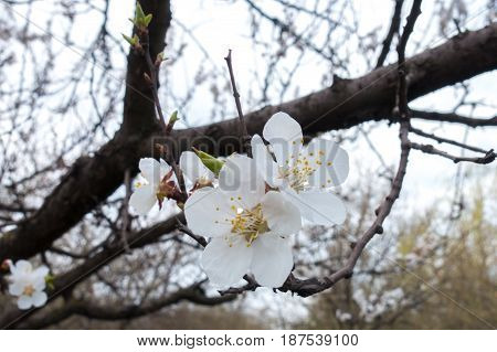 Close Up Of Two White Flowers Of Apricot Tree