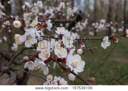Close Up Of White Flowers Of Apricot With Yellow Stamens