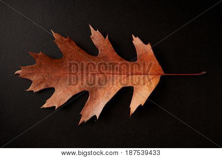 Brown Autumn leaf isolated on a black background, horizontal