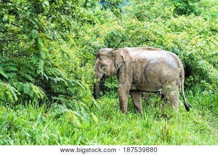 Asian Elephant in the wild life. Kuiburi National Park. Thailand.