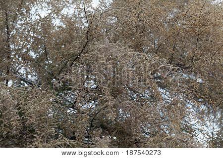 Flowers of a French tamarisk tree (Tamarix gallica)