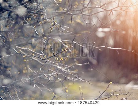 Abstract background with branches of hawthorn in spring.