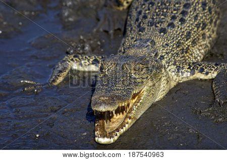 Northern Australian Saltwater Crocodile in Mud