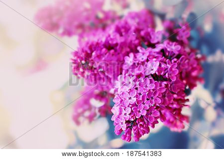 Lilac Blossoming Flowers