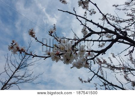 Flowering Branches Of Apricot Against The Sky