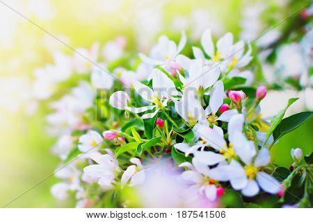 White Flower Of Apple Tree