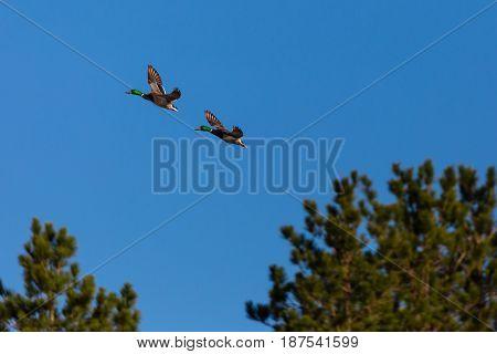 Two male Mallard ducks (Anas platyrbynchos) flying in front of a blue sky in Wisconsin