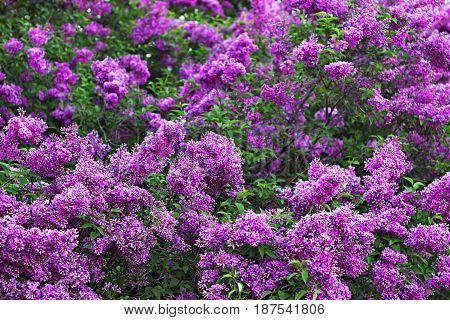 Lilac Bushes Blossom