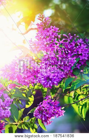 Blossoming Lilac Flowers