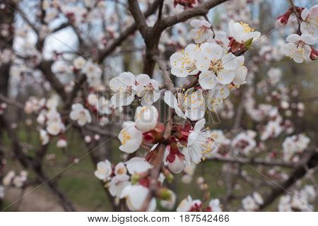 Lots Of White Flowers On The Apricot Tree