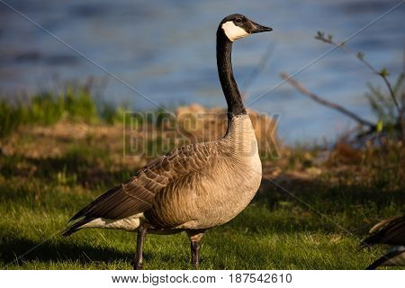Canada Goose (branta canadensis) standing on a Wisconsin water front in May