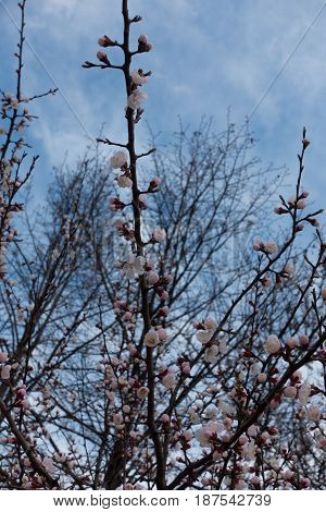 Vertical branch of apricot with buds and pinkish flowers against the sky