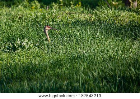 Sandhill Crane (Grus canadensis) camouflaged in tall grass