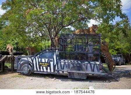 BANGKOK THAILAND - JUNE 12 : zoology staff feeding flock of tiger in zafari world most popular traveling destinatin on june 122015 in bangkok thailand