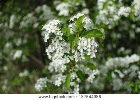 Close Up Of White Flowers Of Prunus Padus