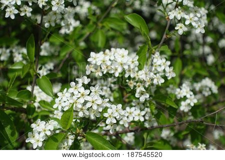 White Flowers In Recemes On The Branches Of Hackberry