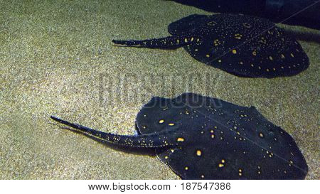 Deceptively peaceful couple of Amazon river freshwater predator rays resting on green sand in shallow waters